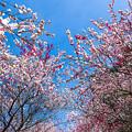 Photos: 花桃