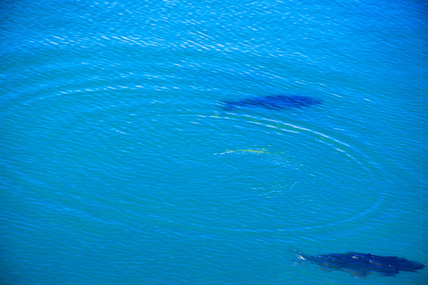 Photos: 魚影