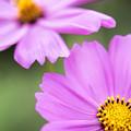 Photos: 咲いて