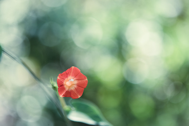 Photos: ひとつ咲く