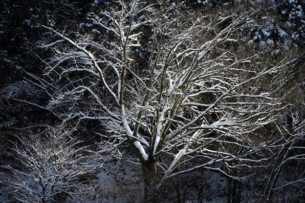 Photos: 冬の木