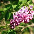 初夏の空に咲くライラック