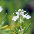 マリンローズの花