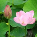 写真: 大連古代蓮 今年も咲きました。