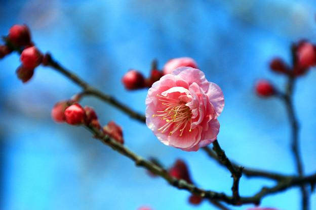 寒紅梅咲き始めました。
