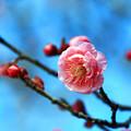 写真: 寒紅梅咲き始めました。