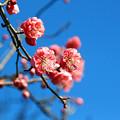 Photos: 陽だまりに咲く!