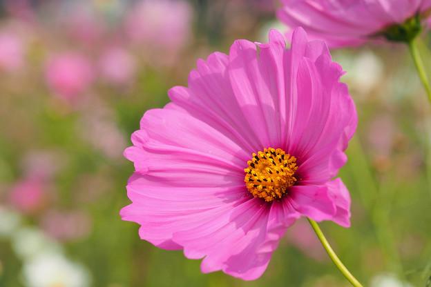 大輪咲きです。