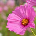 Photos: 大輪咲きです。