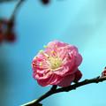 Photos: 寒紅梅