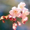 Photos: 今咲き始め!!
