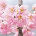 Photos: 花の盛りも過ぎそうで、