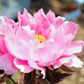 Photos: 咲いて、咲いて