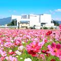 坊ちゃん劇場(常設ミュージカル劇場)とコスモス