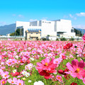 Photos: 坊ちゃん劇場(常設ミュージカル劇場)とコスモス