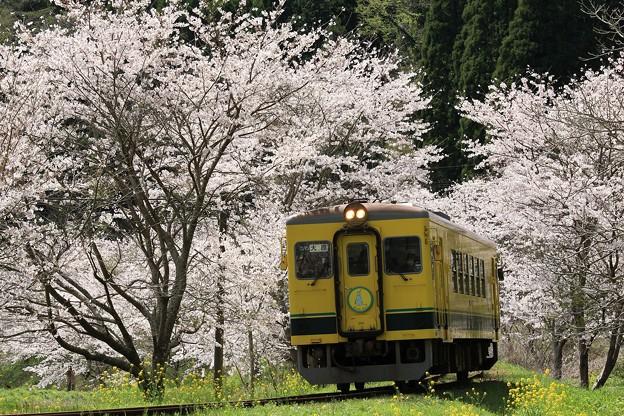 写真: いすみ350形と桜並木