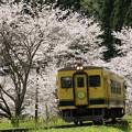 Photos: いすみ350形と桜並木