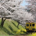 いすみ350形と桜並木 003