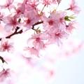 Photos: 河津桜 002