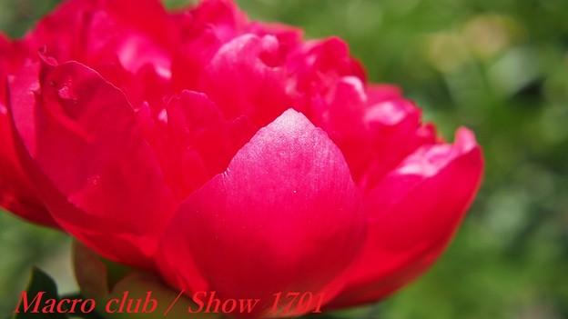 府立植物園 芍薬 「メニーハッピーリターンズ」 321