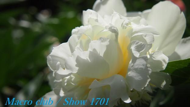 ちゃおりんさんのための 府立植物園 芍薬 「白雪姫」 330