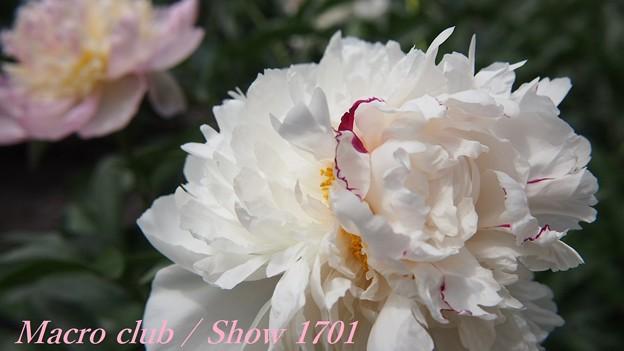 府立植物園 芍薬 「白帝冠」 335