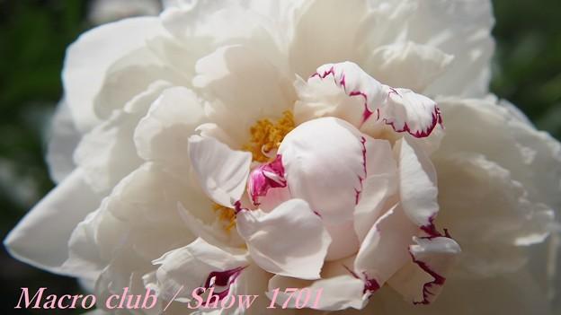 府立植物園 芍薬 「白帝冠」 336