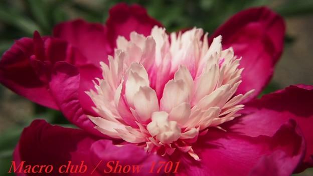 ポニョタさんのための 府立植物園 芍薬 「ときめき」337