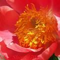 府立植物園 芍薬 「コーラルニューゴールド」 342