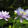 写真: hiro 君のための 温室のスイレン 府立植物園