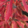 2018 秋紅葉 目薬の木