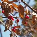 2018 秋紅葉 サンシュユの赤い実