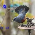 Photos: A18A7844イソヒヨ正月-1