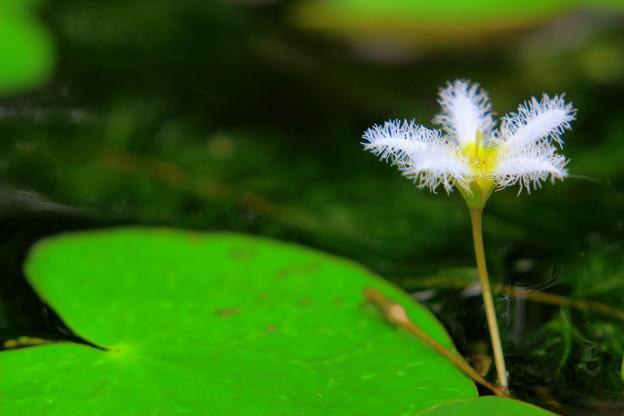 ガガブタの花