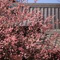 写真: 紅梅と瓦屋根
