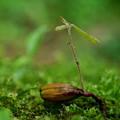写真: コナラの種からの芽出し