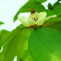 ホウの木の花