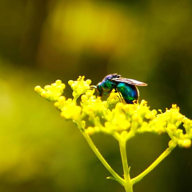 オオセイボウとオミナエシの花