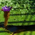 写真: オニバスの花