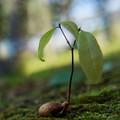 ドングリ付きの幼木