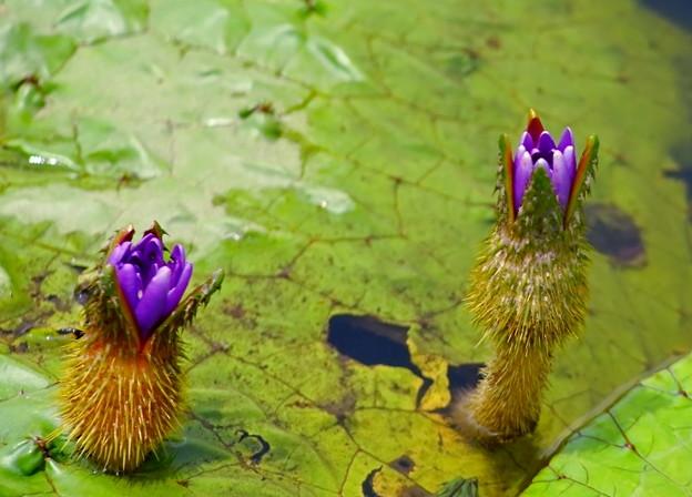 オニバスの花