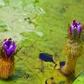 Photos: オニバスの花