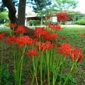 Photos: 松の木の下に咲く