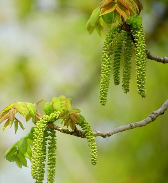 オニグルミの雄花