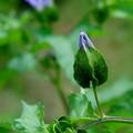 Photos: クロホウズキの花