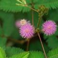 Photos: オジギソウの花