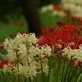 Photos: 紅白のヒガンバナ