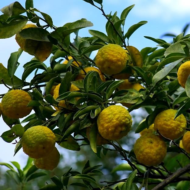 柚子の実が色ずく