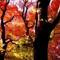 Photos: 紅葉の林