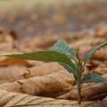 Photos: 落ち葉とビワの幼木